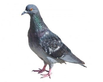 Pigeons And Starlings Advice
