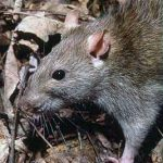 We have a rat infestation in our house and its out of control! Avon are here to help