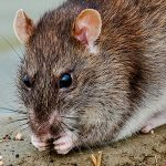 Putting rat poison down won't always get rid of your rat problems for good, but Avon Pest Control will