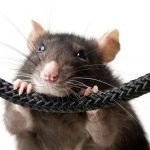 Rats and Mice hiding in your home or business?