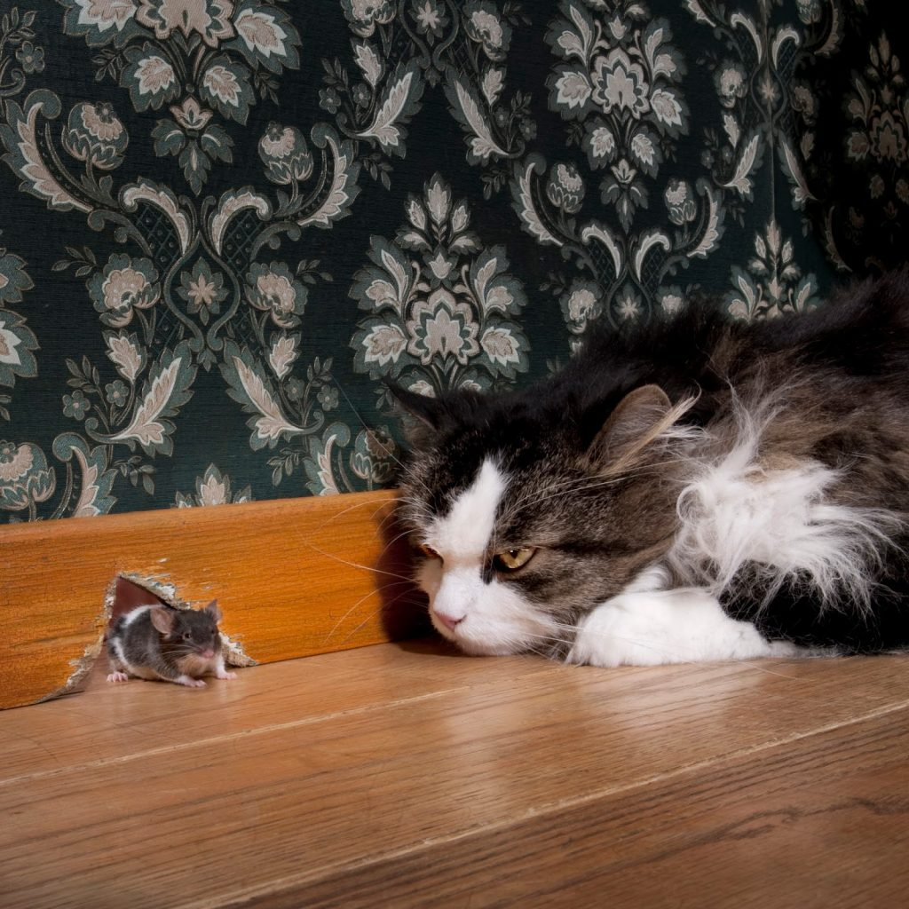 Mice Pest Control - Mice in your walls what to do