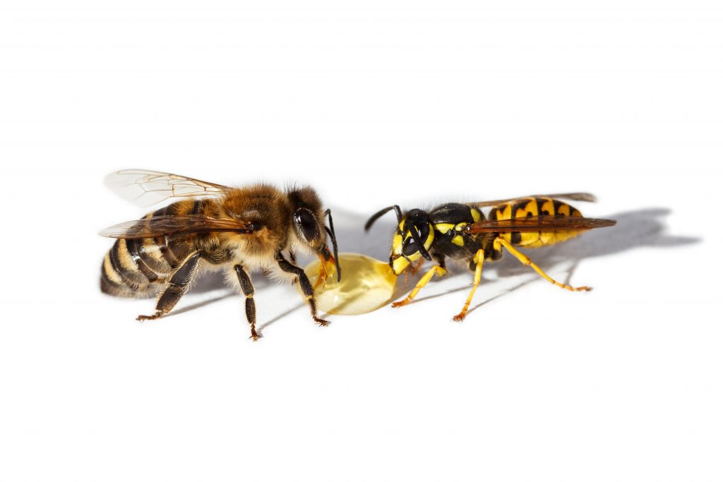 Bee pest control - Wasp and bee eating honey