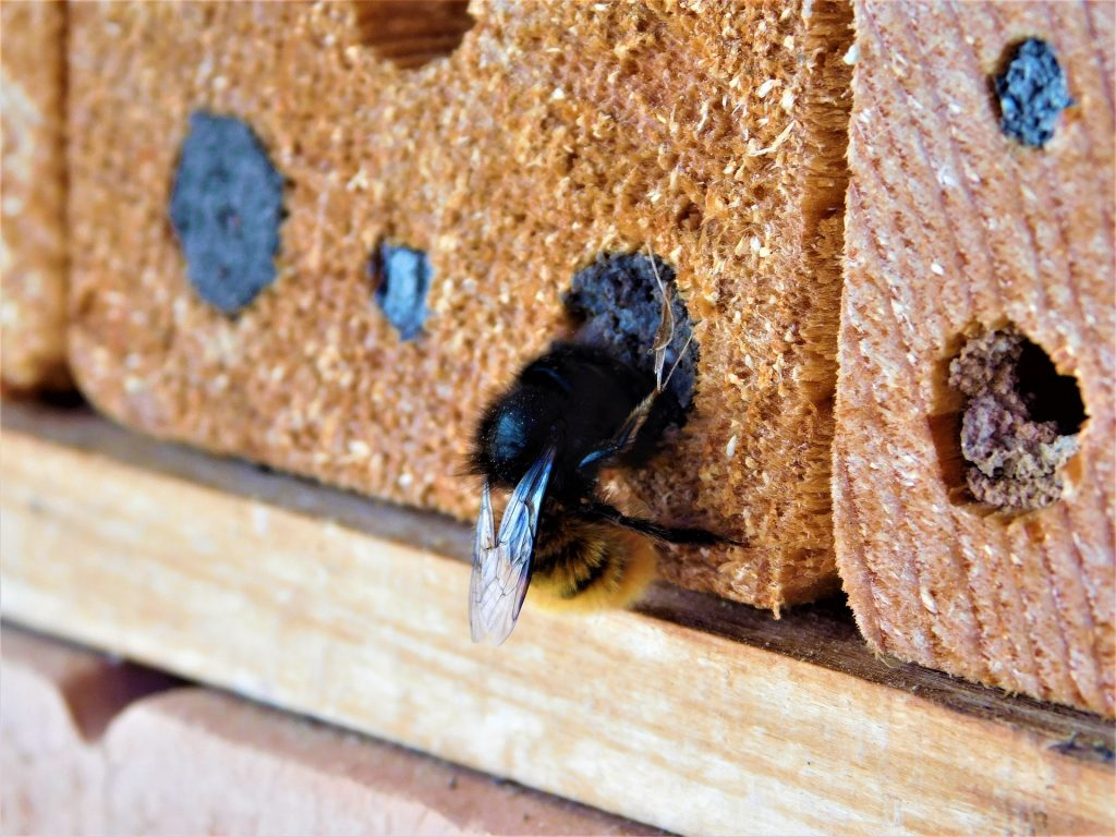 Masonry bee at the entrnace of its home