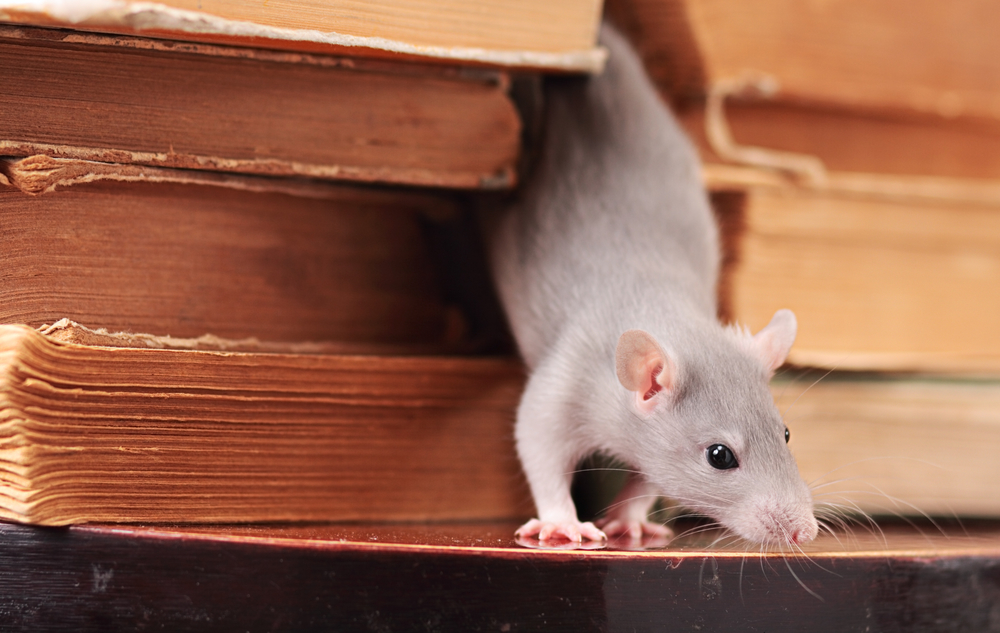 Norwegian rat pest control - Anticoagulant Resistant Rats how to cull?
