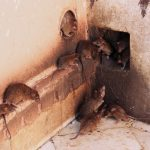 How To Tell If You Need Rat Pest Control