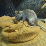 More than a Nuisance; Three Dangerous Diseases spread by Rats