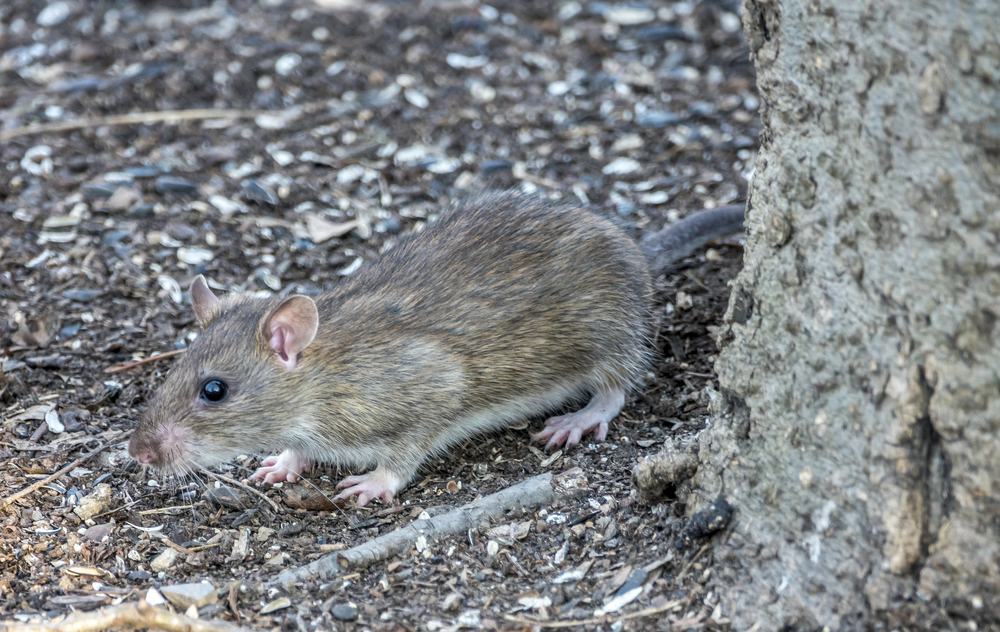 Winter rat infestations - Brown rat, Rattus norvegicus, also known as the common rat, street rat, sewer rat, Hanover rat,B