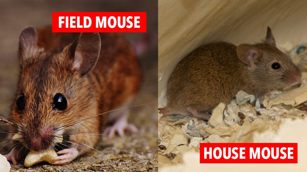 British Mice Identification Guide - Comparing field or wood and house mice.