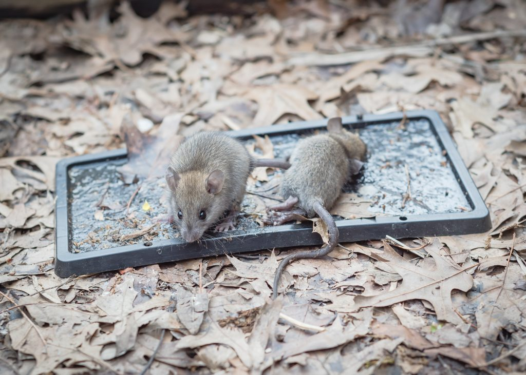 Mouse Infestation and Your mental health - Live mice captured on black glue traps. A non-toxic natural rodent and pest control remedy.