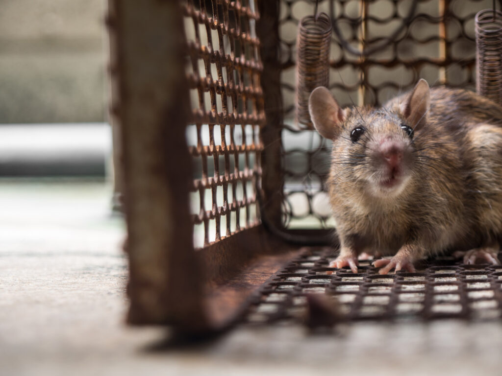 Are Rats in Drains Driving You Round the U-bend? - Caged Rat