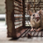 Are Rats in Drains Driving You Round the U-bend?
