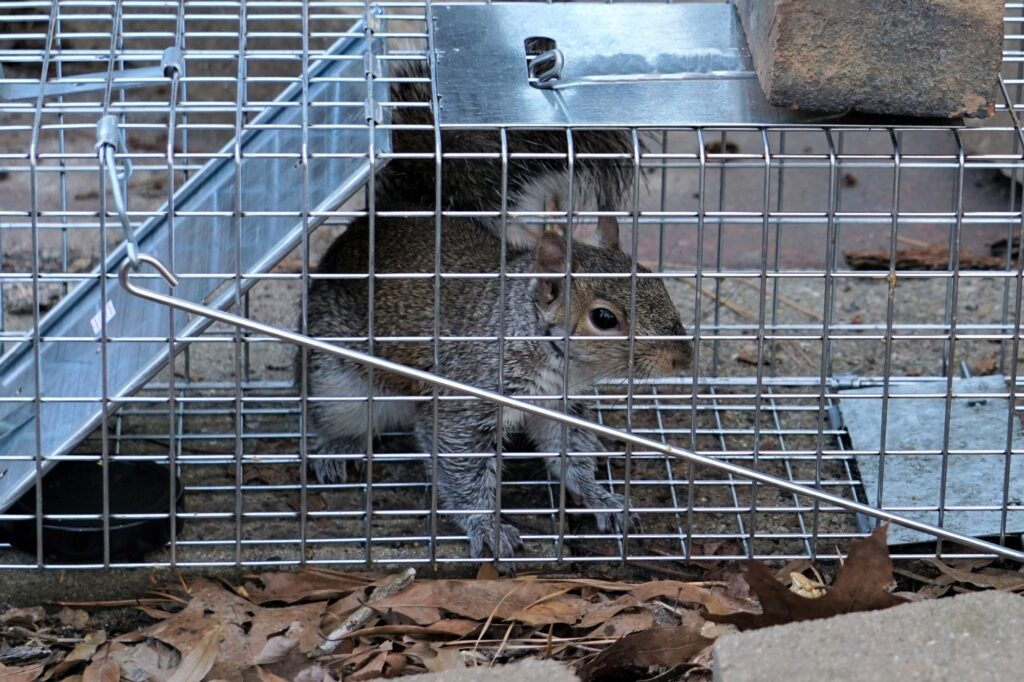 Can I Trap Squirrels and Release Them?