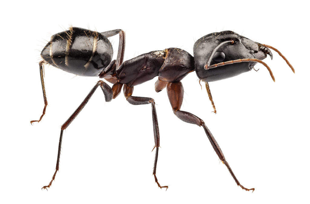 Unwanted Ten-Ants - Early Season Ant Activity in Your Home