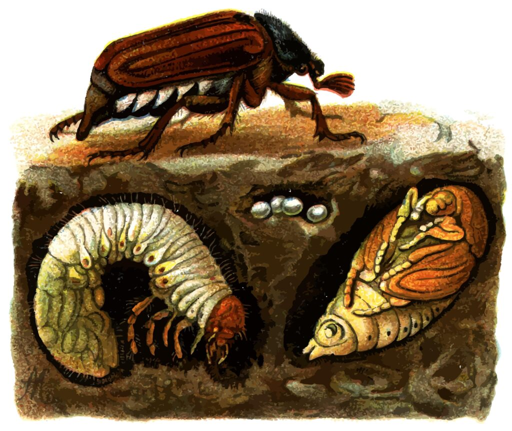 The Life Cycle of the Cockchafer