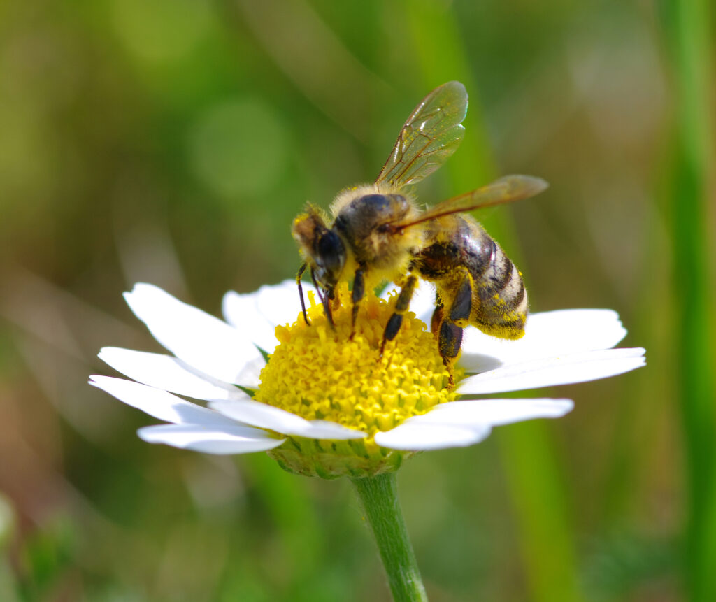 Pest Control -The Plight of the Bumblebee - A Bumblebee at work on a Chamomile flower.