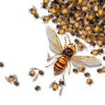 Hornet Identification – Wondering about the differences between European Hornets, Wasps, or Asian Hornets?
